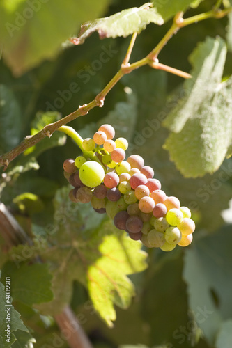 Pino noir grapes almost ready for harvest