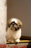 Lhasa Apso dog sitting in shabby looking doorway poster