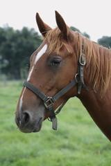 cheval portrait
