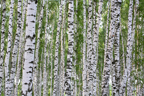 Summer birch wood