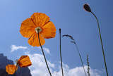 Alpine poppies against blue sky poster