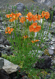 Many alpine poppies poster