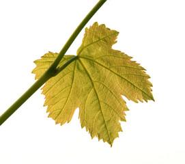 Backlit Vine Leaf