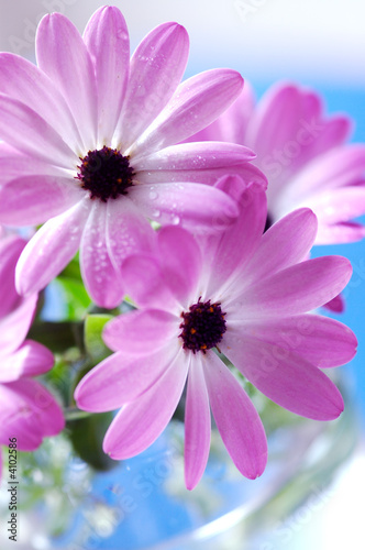Fototapety, obrazy : Pink daisies bouquet