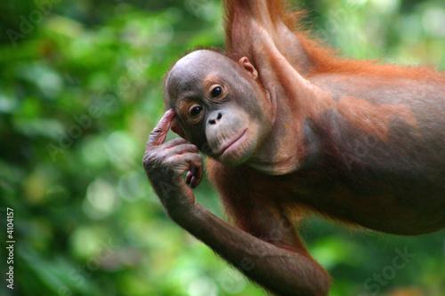 Orang-Utan in der Orang-Utan-Station Sepilok auf Borneo - 4104157