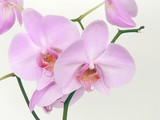 lila pink orchid poster