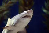 bull shark jaws poster