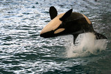 killer whale jumping poster