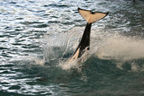 killer whale tail poster