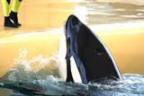 killer whale feeding poster