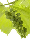 Cluster of a young green grapes poster