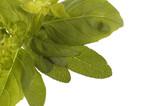 fresh herbs. basil and oregano poster