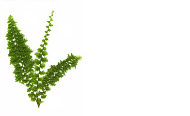 green fern isolated on white background