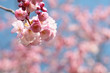 roleta: pink cherry blossom