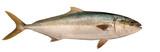 Yellowtail Tuna poster