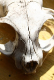 Skull of animal by closeup, that lies on the window-sill poster