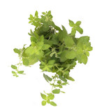 green leaves o herb poster