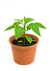 Young chilli pepper plant isolated