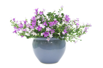 Potted Campanula isolated on white