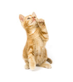 yellow kitten begging poster