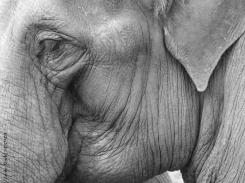 Fototapeta zwierzęta - ssaki - Słonie