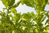 Tobacco Plantation poster