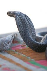 African cobra