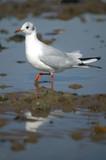 Black headed gull wading. poster