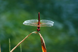 Red dragonfly on a stem poster