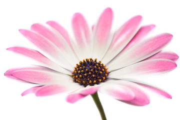 Osteospermum isolated on white