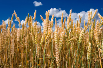 Ripe wheat stalks and ears closeup against blue sky