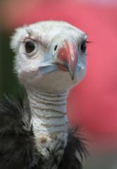 vautour a tête blanche