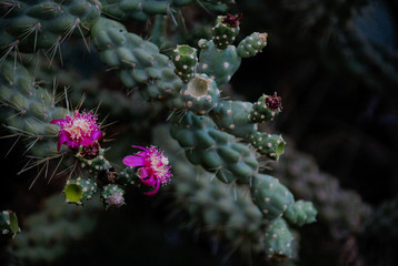 Jumping cactus Flower