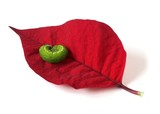 Green Caterpillar on a Red Poinsettia Leaf poster