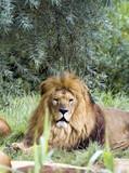 König der Tiere poster