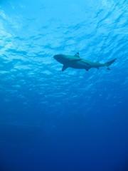Tiburon en Bora Bora