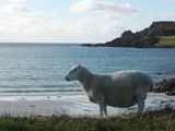 Sheep on Beach in Shetlands