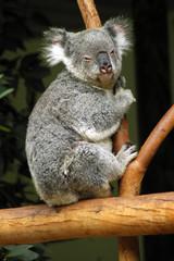 koala on a tree