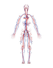 Human Arteries and Veins