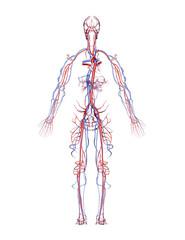 Human Arteries and Veins