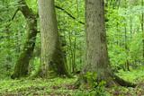 Old spruce, oak and hornbeam poster