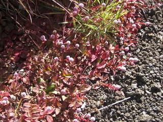 cincer flowers, volcanoes national park hawaii