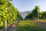 Okanagan vineyard