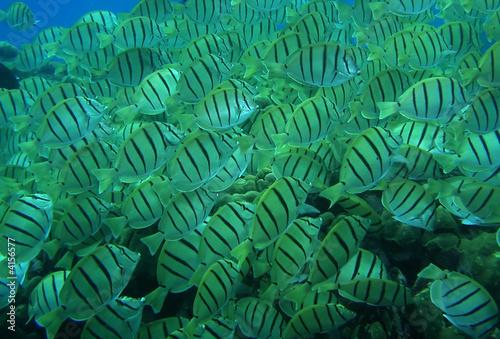 Striped fish schooling