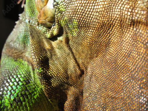 peau d'un iguane