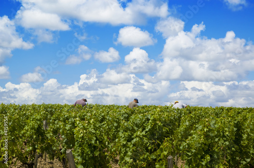 Three grape-pickers