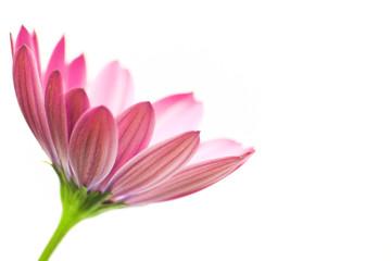 Osteospermum (cape daisy)