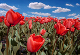 Amazing field of red tulips poster