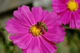 Cosmos flower and bee close-up poster