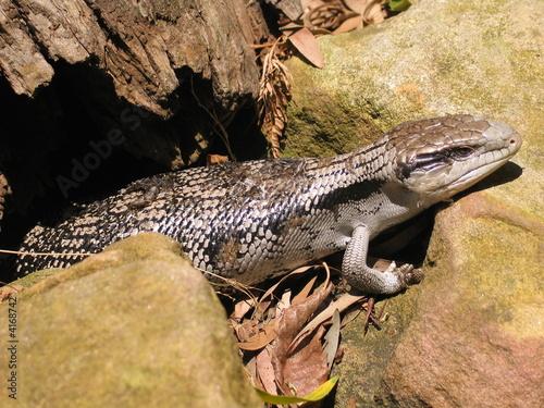 Hunting lizard